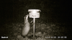 Badger At Night 3