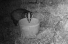 Badger Eating From Conventional Mineral Bucket