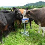 Cattle Feeding from Square Bucket